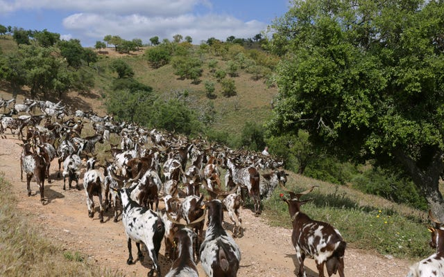 ポルトガルは山火事の準備に山羊を使用していますが、羊飼いは十分ではありません