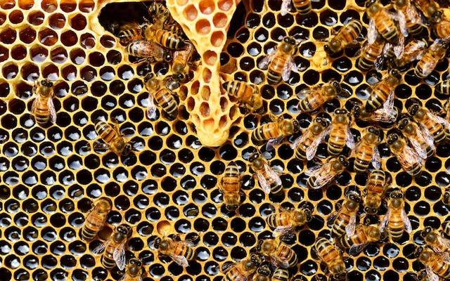 男性の蜂は時々女王を盲目にして、彼女が他の人を探すのを防ぎます
