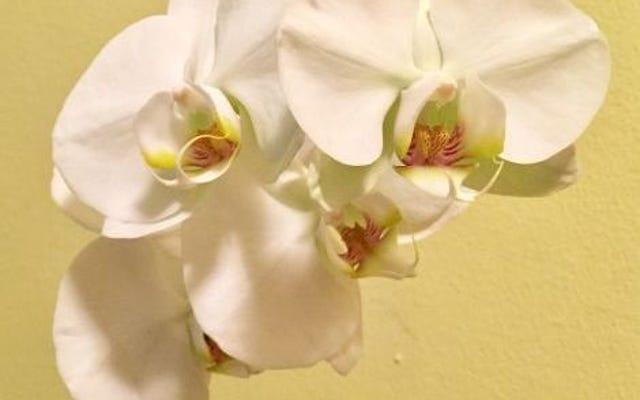 Wie man eine Trader Joes Orchidee am Leben erhält - oder sie wieder zum Blühen bringt