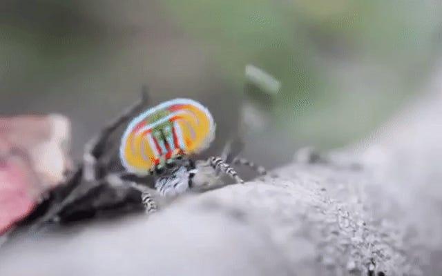 Wissenschaftler fanden noch mehr dieser verrückt aussehenden Pfauenspinnen
