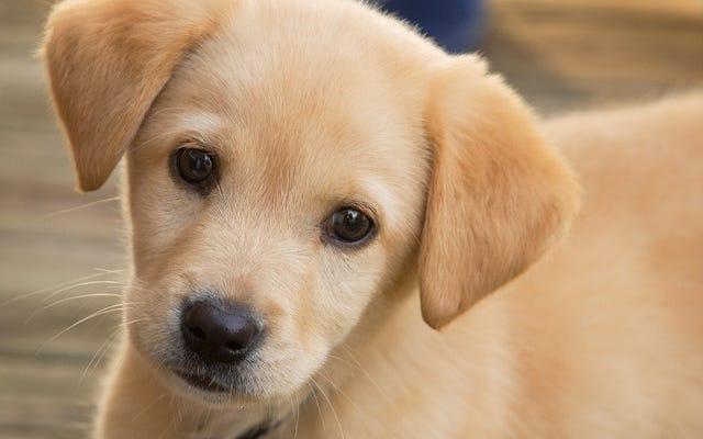 Yavru Köpekler Bebeğinizin Konuşmasını Sever Ama Köpekler Sevmez
