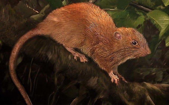 Les scientifiques ont découvert un nouveau type de rat qui est énorme et vit dans les arbres