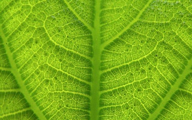 Para alimentar al mundo, es posible que necesitemos piratear la fotosíntesis