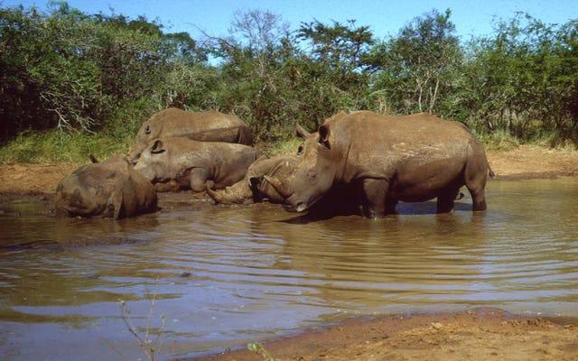 16 rhinocéros noirs en voie de disparition transférés avec succès à Eswatini