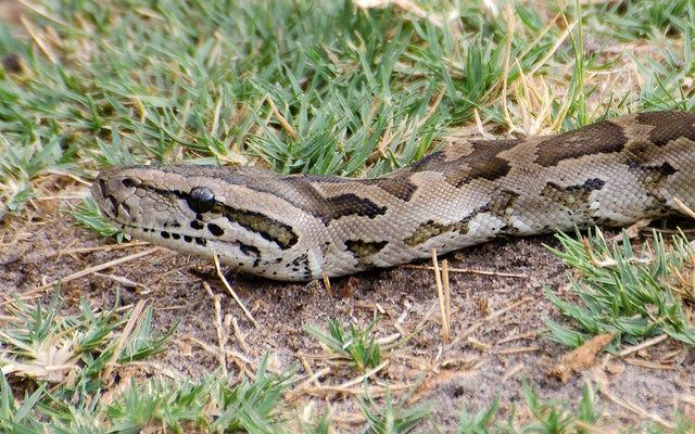 Mereka membunuh seekor ular besar dengan mengira ia telah memakan ternak dan menemukan puluhan telur