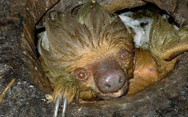科学者がトイレの下で怠惰と遭遇したことで、動物の異常な食事が明らかになりました