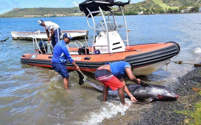 死んだクジラとイルカがモーリシャスの油流出事故の近くのビーチで洗い流されている
