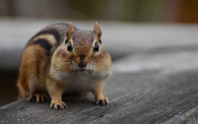 Keneleri Bahçenizden Uzak Tutmak için Kemirgen Habitatlarını Kaldırın
