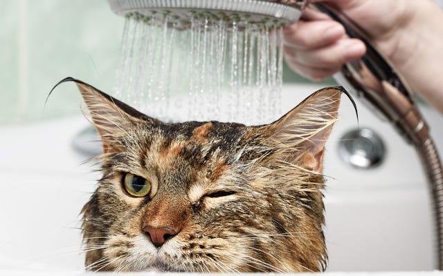 あなたの猫に風呂を与える方法