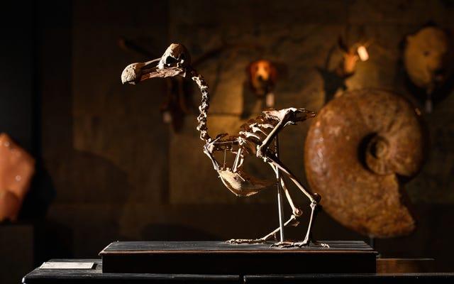 Bu Dodo İskeleti Neredeyse Yarım Milyon Dolara Satıldı