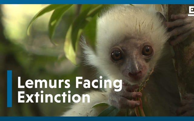 Dunia Akan Kehilangan Lemur Madagaskar Tanpa Tindakan