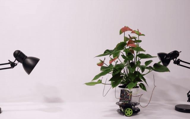 La pianta d'appartamento cyborg può guidare se stessa verso la luce che desidera ardentemente
