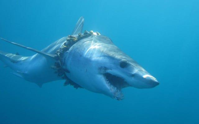 El equipo de pesca 'fantasma' es una amenaza mayor para los tiburones de lo que nos dimos cuenta