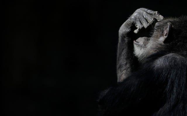 Signes d'Alzheimer détectés dans le cerveau de chimpanzés pour la première fois