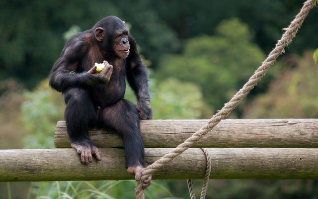 La corte de Nueva York dice que los chimpancés no son personas, pero un juez no está contento con eso