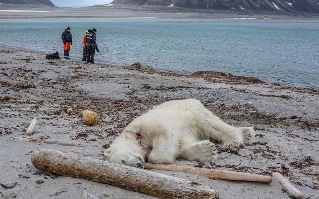 Le personnel de la compagnie de croisière de l'Arctique aurait abattu et tué un ours polaire après une attaque de la garde