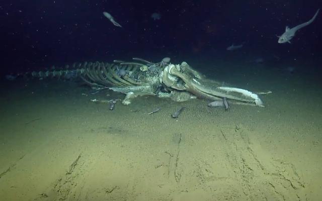 สิ่งมีชีวิตในน้ำลึกกำลังกินซากปลาวาฬและคุณสามารถรับชมได้