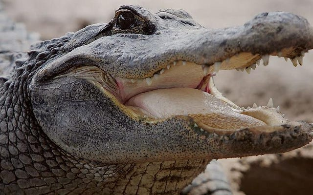 Alligatoren feiern den Beginn des Frühlings, indem sie sich ihren Weg durch Florida bahnen