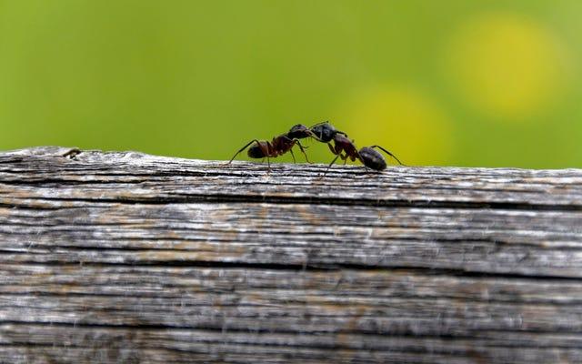 एक लॉग पर चींटियां: अजवाइन, मूंगफली का मक्खन और किशमिश कैसे एक स्नैक टाइम स्टेपल बन गया?