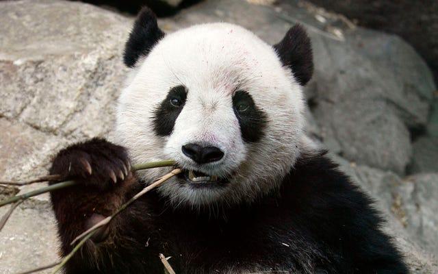 130 anak dalam 25 tahun: panda yang menyelamatkan spesiesnya dari kepunahan berkat aktivitas seksualnya yang tidak biasa
