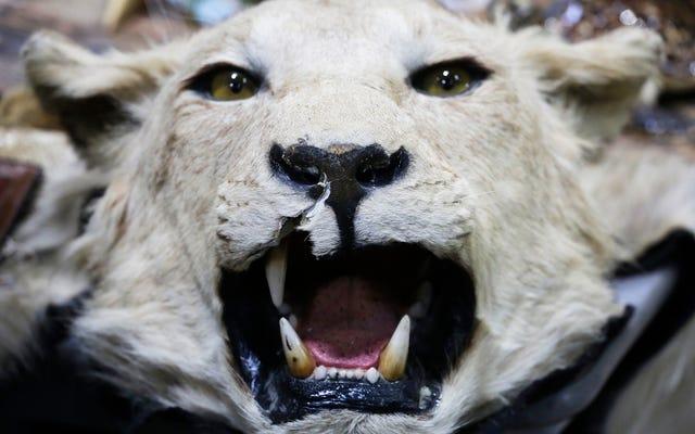 La administración Trump contrata a un defensor de la caza de trofeos para proteger la vida silvestre