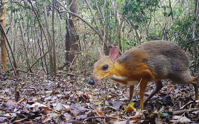 Spesies Kancil yang 'Hilang' Terlihat di Vietnam Setelah 30 Tahun