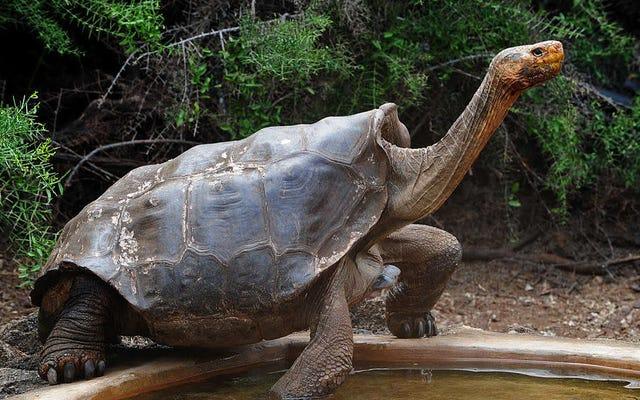 ゾウガメは、ほぼ片手で種を救うのに十分なセックスをした後、引退します