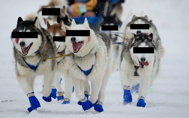 Nikt nie wie, kto dopadł te psy zaprzęgowe