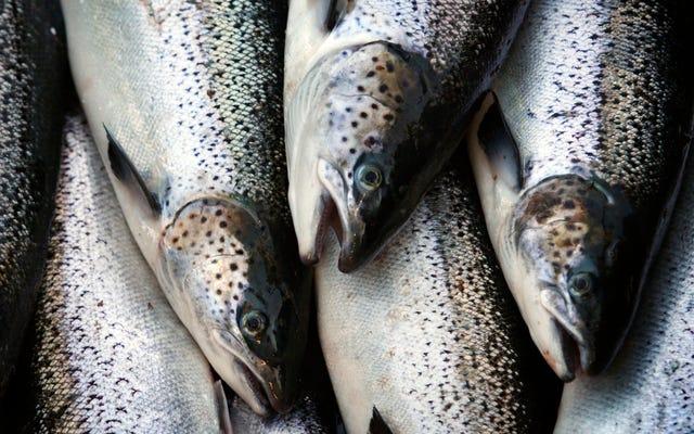 La FDA levanta la prohibición de importar salmón modificado genéticamente que llega al mercado dos veces más rápido