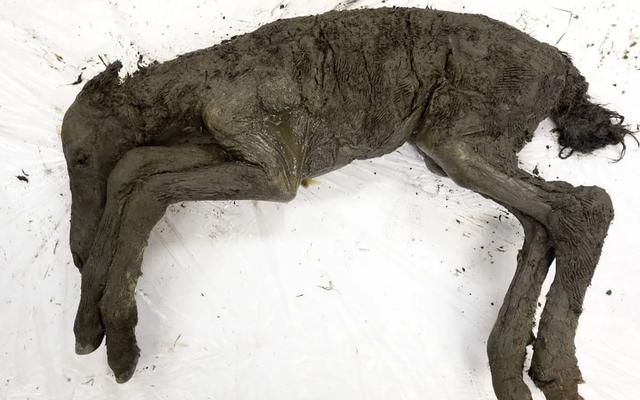 シベリアで凍結された42、000歳の子馬から抽出された液体血液