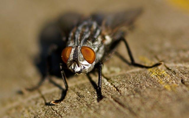 Ngay cả những con ruồi bên trong bệnh viện cũng mang theo vi khuẩn kháng thuốc kháng sinh