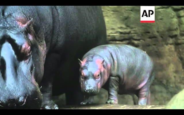 Mire a un bebé hipopótamo salir por primera vez, solo para ser inundado de paparazzi