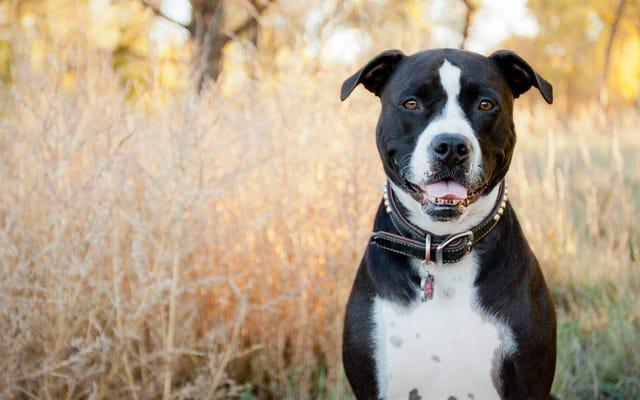 避難所にいる衝撃的な数の犬が「ピットブル」と誤認されている