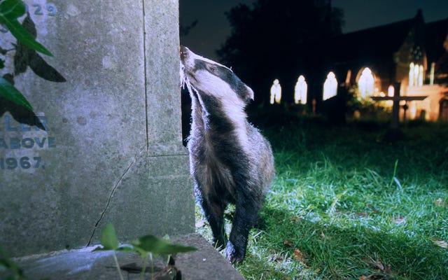 Stiamo trasformando gli animali selvatici in gufi notturni spaventandoli a morte