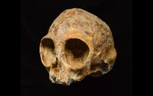 क्या वैज्ञानिकों ने सभी वानरों के अंतिम सामान्य पूर्वजों की खोज की?