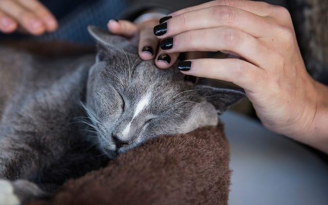 Los científicos demuestran que probablemente le gustes mucho a tu gato