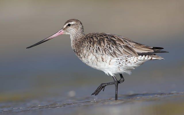 記録破りの鳥がアラスカからニュージーランドへノンストップで飛んだ