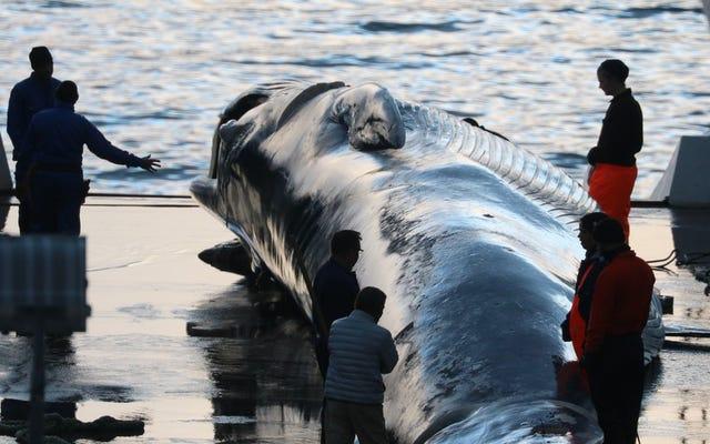アイスランドで数十匹の絶滅危惧種のクジラを殺すことが許されている理由
