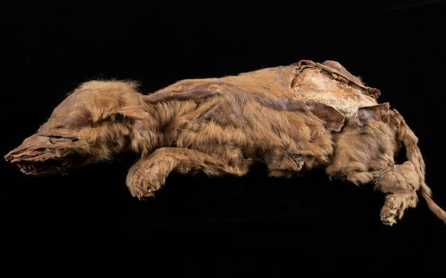 カナダの金鉱夫が57、000歳のオオカミの子犬がまだ毛皮で覆われているのを発見