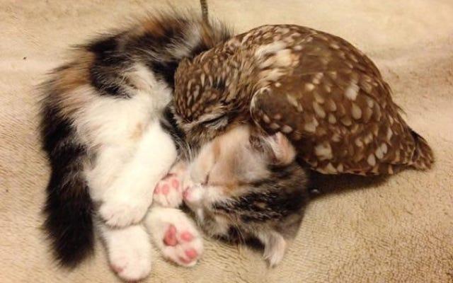 Cuando un gato y un búho desarrollan una hermosa amistad
