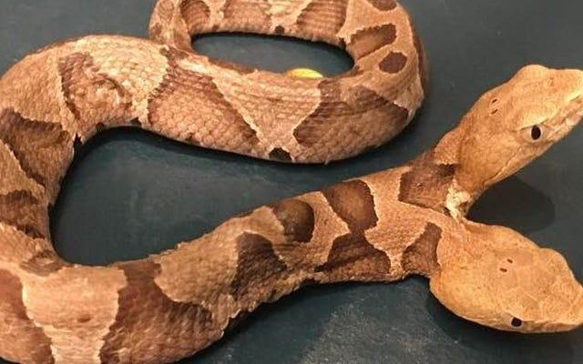 Il trouve un serpent à deux têtes dans son jardin, une découverte extrêmement rare selon les experts