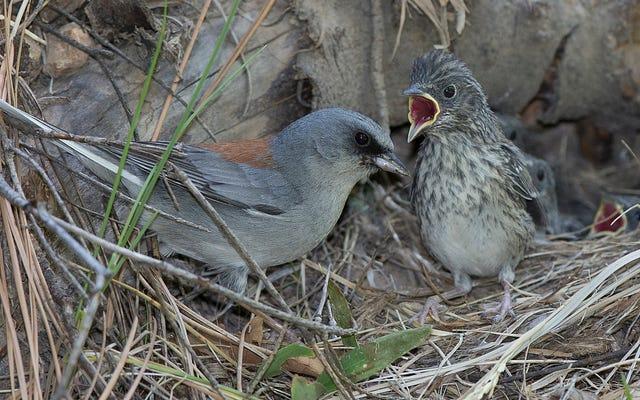 Même les oiseaux luttent pour devenir des nicheurs vides