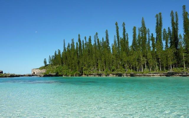 熱帯地方のこれらの原生樹が他の緯度で成長するときになぜ彼らの家に寄りかかるのか誰も知りません