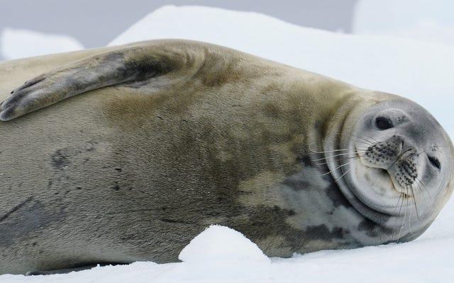 科学者はあなたの助けを必要としています南極でアザラシを発見する