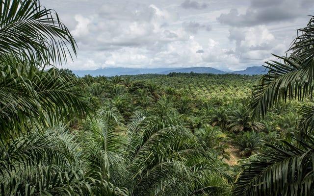 Ваши любимые закуски могут способствовать вырубке лесов на древних индонезийских торфяниках