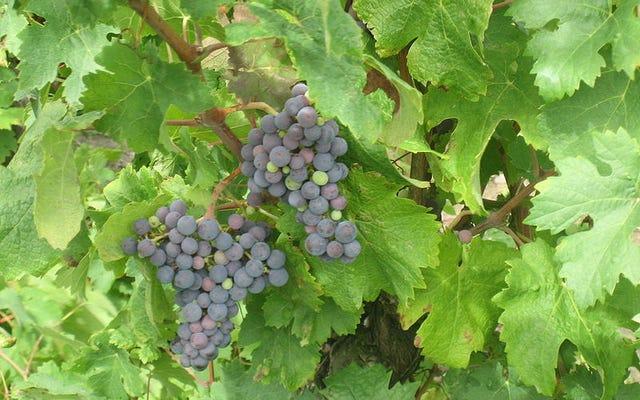 Soyu Tükenmiş Bir Fransız Şarap Üzümü Şili'de Nasıl Sona Erdi?
