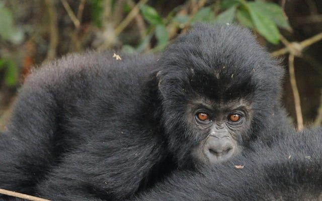 La guerra civil del Congo prácticamente ha acabado con el gorila más grande del mundo