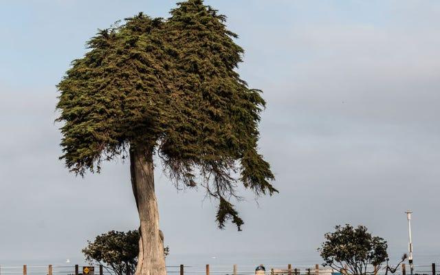 ドクター・スースのロラックスが死んだと信じられている木
