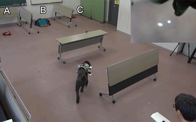Gli scienziati hanno creato un cane telecomandato usando il suo amore per la caccia alle cose