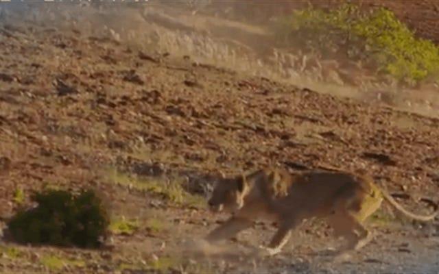 Không có con mồi an toàn: con hươu cao cổ này biến một con sư tử ngu ngốc cố gắng nuốt chửng nó